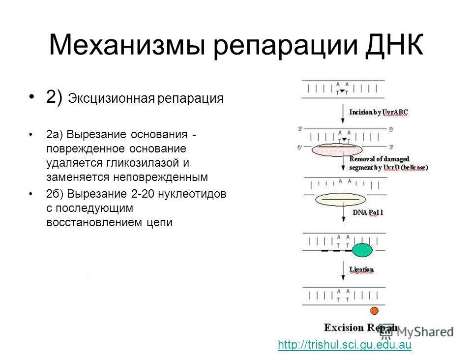 Механизмы репарации ДНК 2) Эксцизионная репарация 2а) Вырезание основания - поврежденное основание удаляется гликозилазой и заменяется неповрежденным 2б) Вырезание 2-20 нуклеотидов с последующим восстановлением цепи http://trishul.sci.gu.edu.au