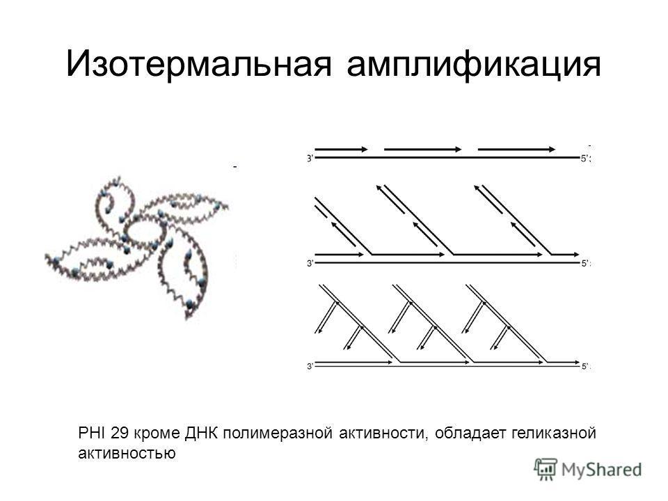 Изотермальная амплификация PHI 29 кроме ДНК полимеразной активности, обладает геликазной активностью