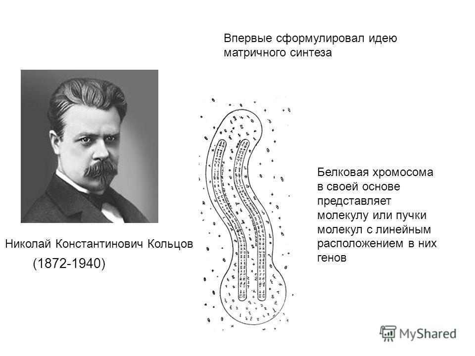 (1872-1940) Впервые сформулировал идею матричного синтеза Николай Константинович Кольцов Белковая хромосома в своей основе представляет молекулу или пучки молекул с линейным расположением в них генов