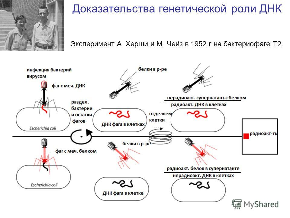 Доказательства генетической роли ДНК Эксперимент А. Херши и М. Чейз в 1952 г на бактериофаге Т2