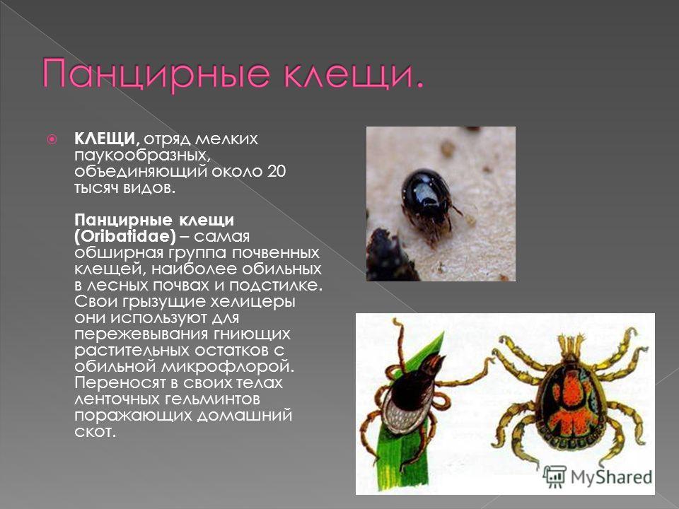 КЛЕЩИ, отряд мелких паукообразных, объединяющий около 20 тысяч видов. Панцирные клещи (Oribatidae) – самая обширная группа почвенных клещей, наиболее обильных в лесных почвах и подстилке. Свои грызущие хелицеры они используют для пережевывания гниющи