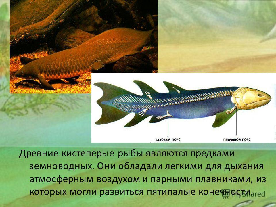 Древние кистеперые рыбы являются предками земноводных. Они обладали легкими для дыхания атмосферным воздухом и парными плавниками, из которых могли развиться пятипалые конечности.