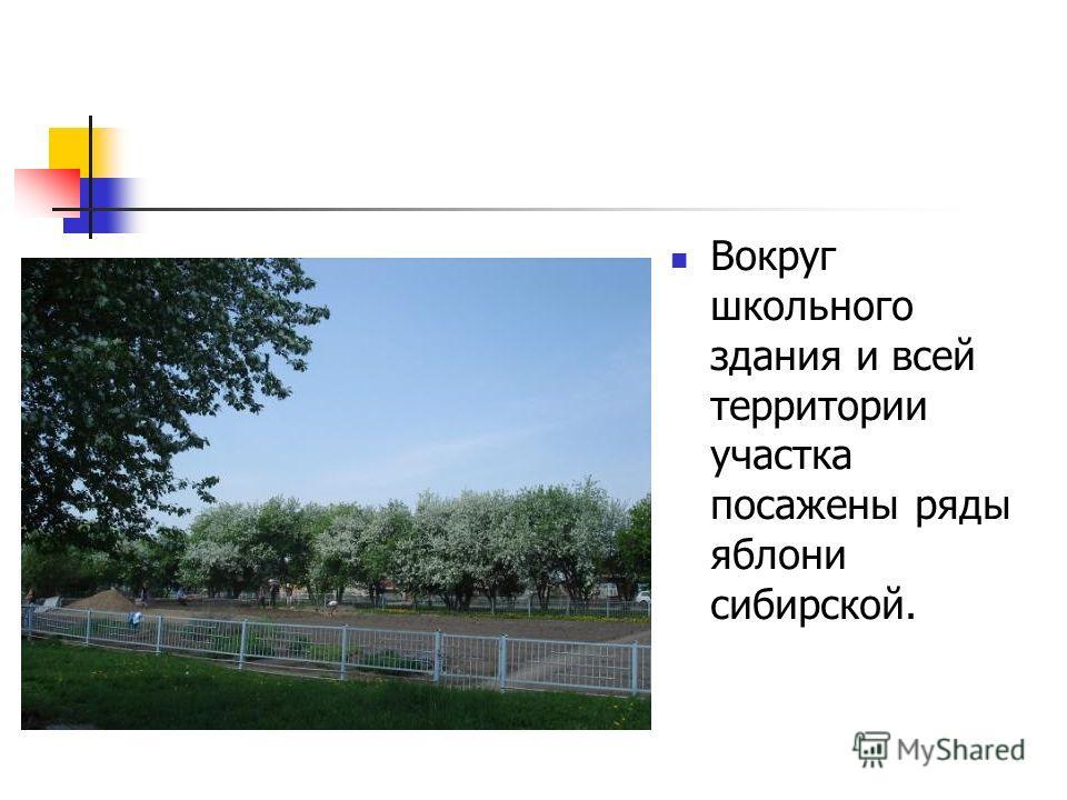 Вокруг школьного здания и всей территории участка посажены ряды яблони сибирской.