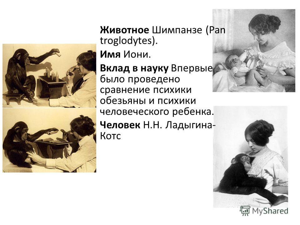 Животное Шимпанзе (Pan troglodytes). Имя Иони. Вклад в науку Впервые было проведено сравнение психики обезьяны и психики человеческого ребенка. Человек Н.Н. Ладыгина- Котс