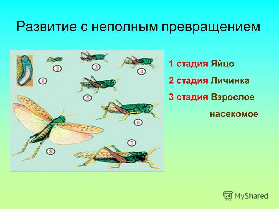 Развитие с неполным превращением 1 стадия Яйцо 2 стадия Личинка 3 стадия Взрослое насекомое