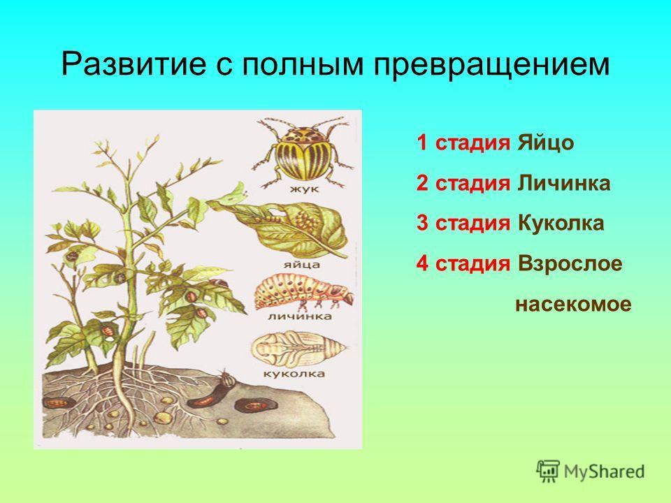 Развитие с полным превращением 1 стадия Яйцо 2 стадия Личинка 3 стадия Куколка 4 стадия Взрослое насекомое