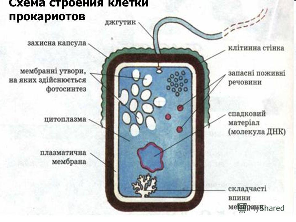 Схема строения клетки прокариотов