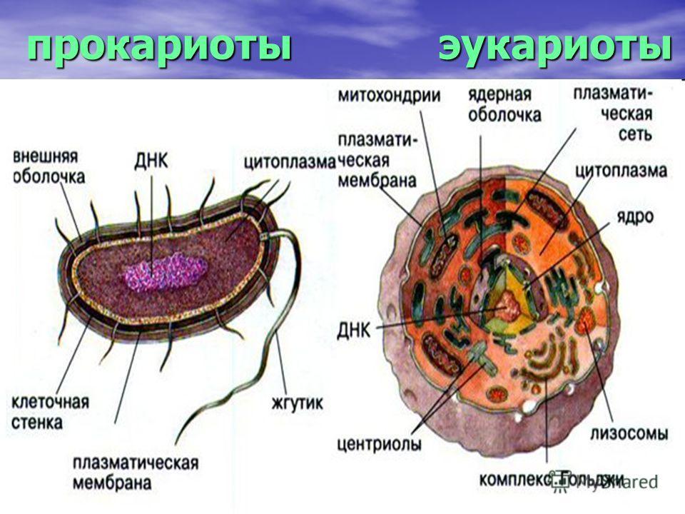 прокариоты эукариоты