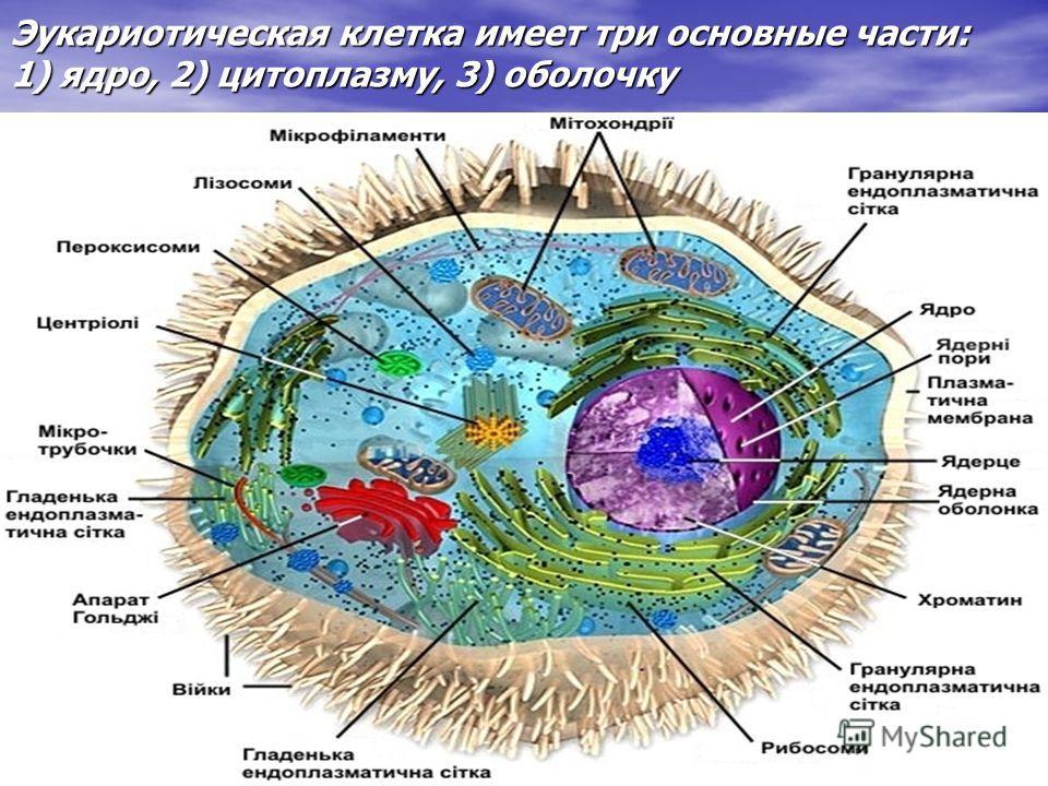 Эукариотическая клетка имеет три основные части: 1) ядро, 2) цитоплазму, 3) оболочку