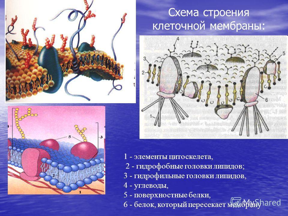 Схема строения клеточной мембраны: 1 - элементы цитоскелета, 2 - гидрофобные головки липидов; 3 - гидрофильные головки липидов, 4 - углеводы, 5 - поверхностные белки, 6 - белок, который пересекает мембрану