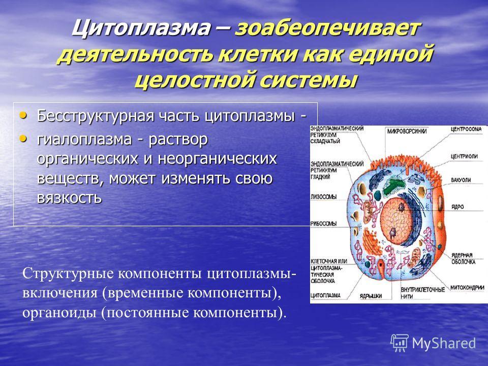 Цитоплазма – зоабеопечивает деятельность клетки как единой целостной системы Бесструктурная часть цитоплазмы - Бесструктурная часть цитоплазмы - гиалоплазма - раствор органических и неорганических веществ, может изменять свою вязкость гиалоплазма - р