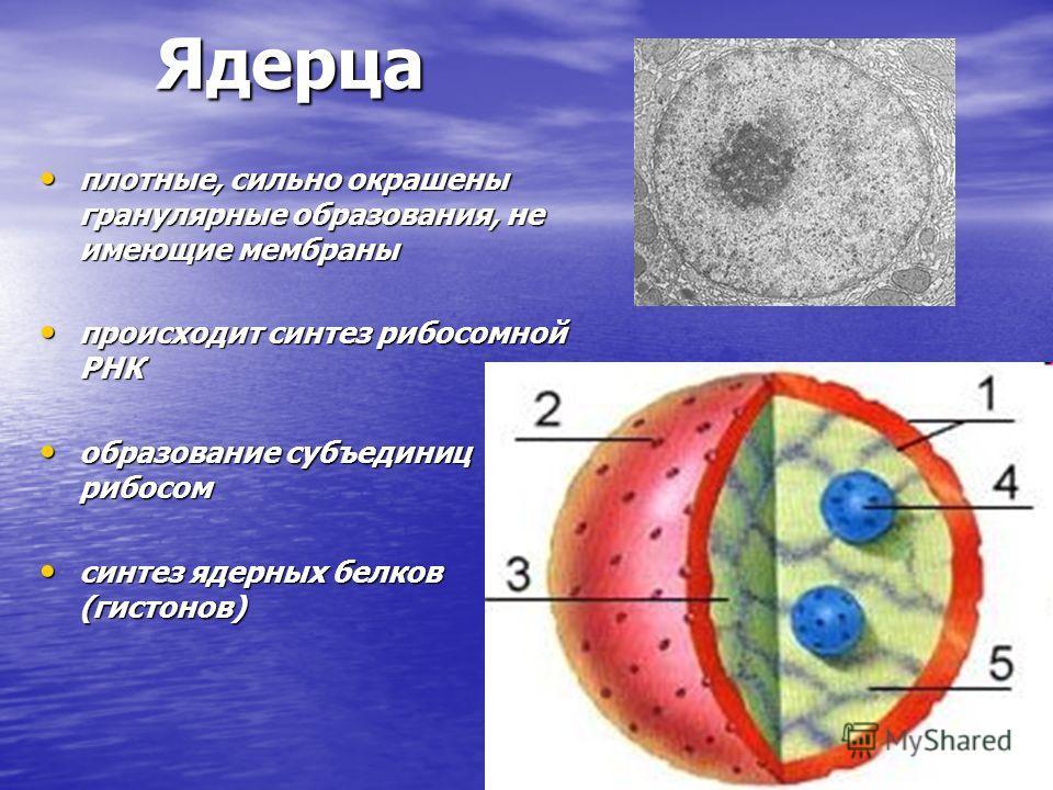 Ядерца плотные, сильно окрашены гранулярные образования, не имеющие мембраны плотные, сильно окрашены гранулярные образования, не имеющие мембраны происходит синтез рибосомной РНК происходит синтез рибосомной РНК образование субъединиц рибосом образо