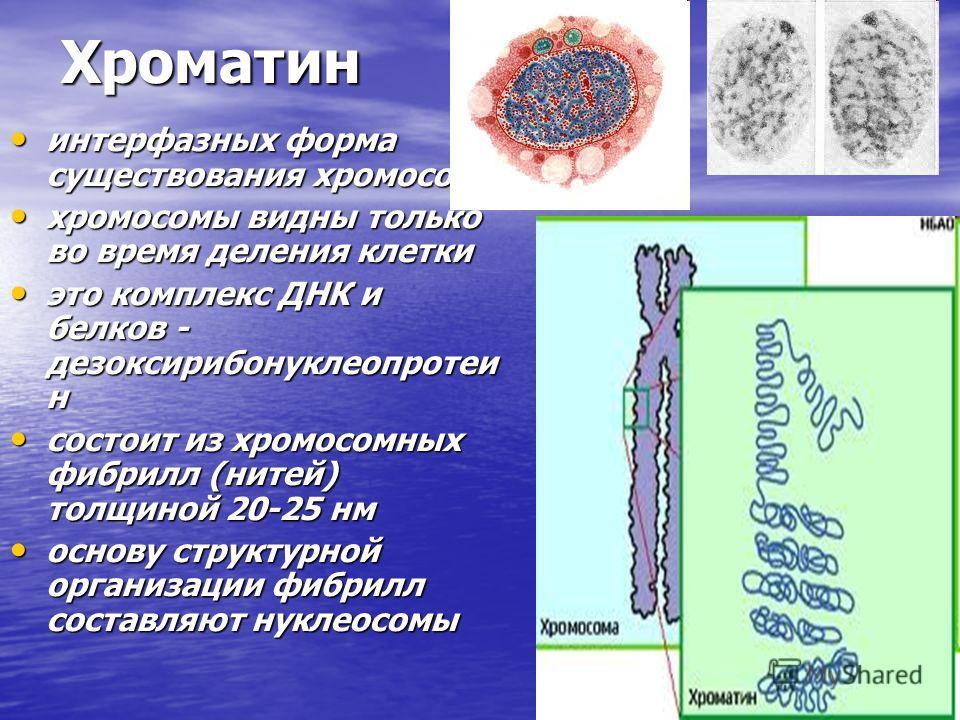 Хроматин Хроматин интерфазных форма существования хромосом интерфазных форма существования хромосом хромосомы видны только во время деления клетки хромосомы видны только во время деления клетки это комплекс ДНК и белков - дезоксирибонуклеопротеи н эт