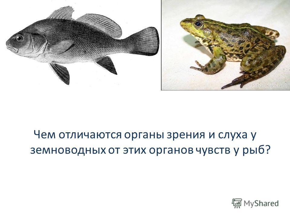 Чем отличаются органы зрения и слуха у земноводных от этих органов чувств у рыб?