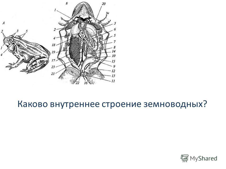Каково внутреннее строение земноводных?