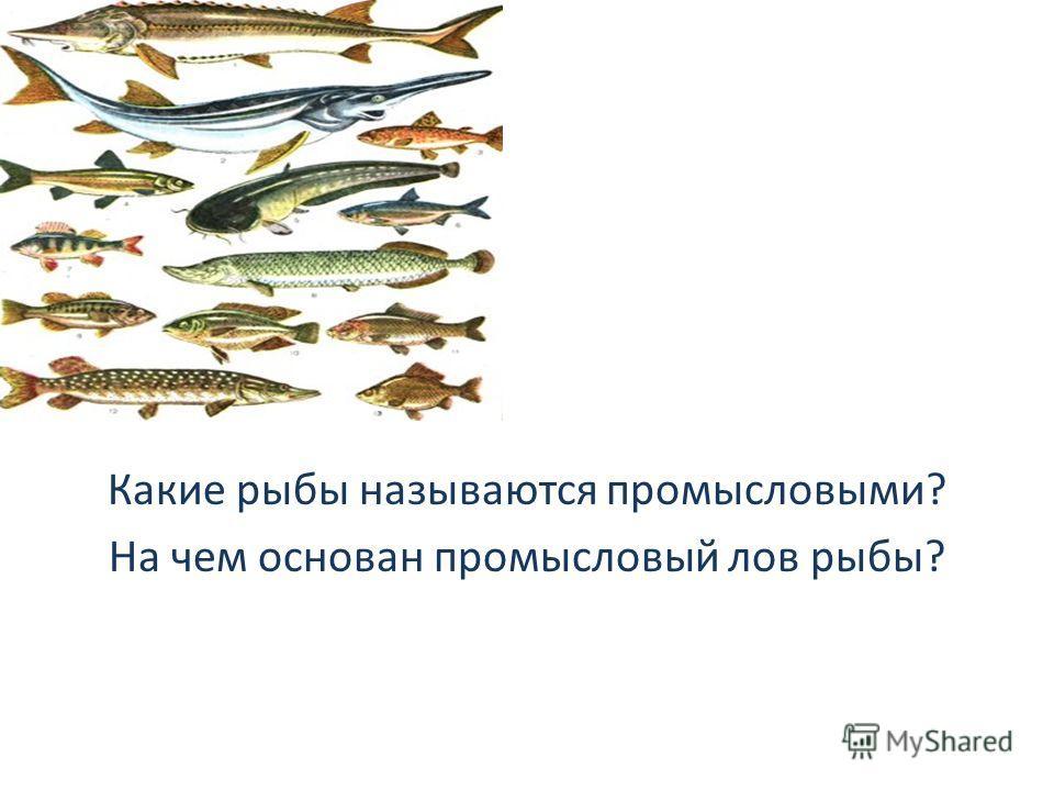 Какие рыбы называются промысловыми? На чем основан промысловый лов рыбы?