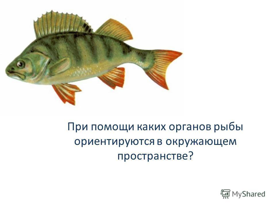 При помощи каких органов рыбы ориентируются в окружающем пространстве?