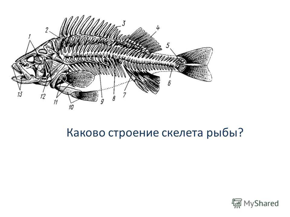 Каково строение скелета рыбы?