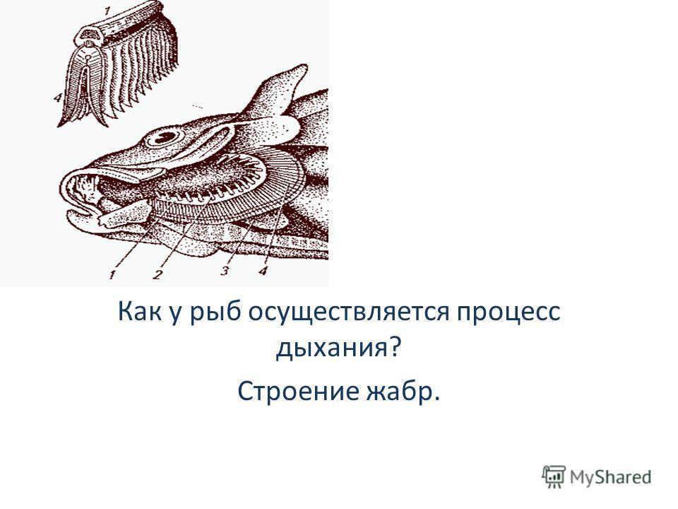 Как у рыб осуществляется процесс дыхания? Строение жабр.