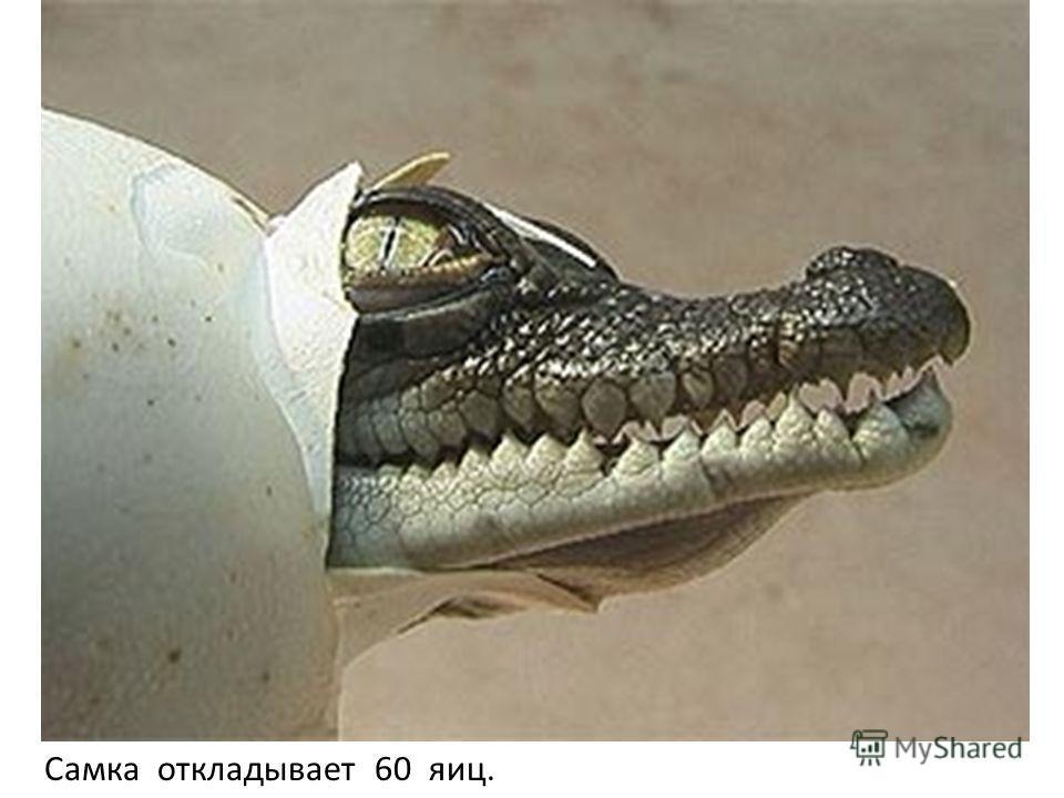 Самка откладывает 60 яиц.