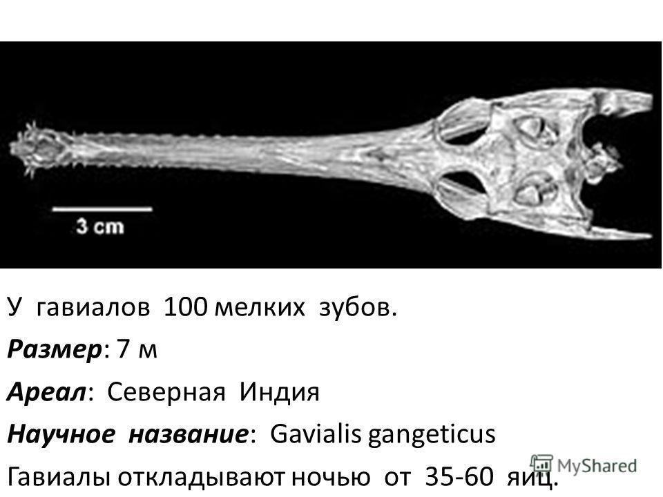 У гавиалов 100 мелких зубов. Размер: 7 м Ареал: Северная Индия Научное название: Gavialis gangeticus Гавиалы откладывают ночью от 35-60 яиц.