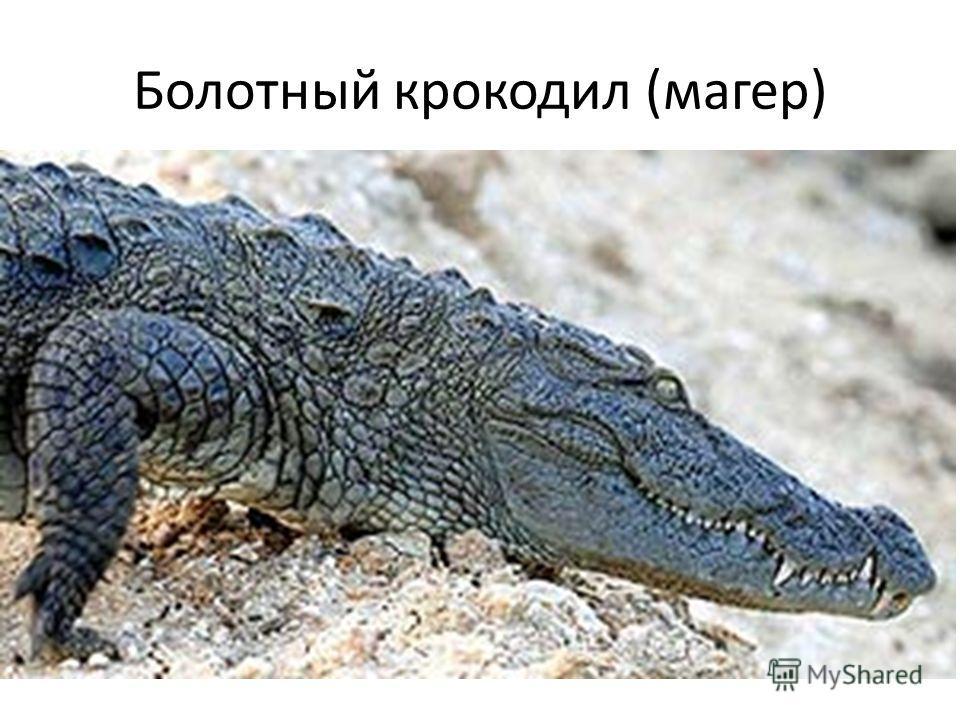 Болотный крокодил (магер)