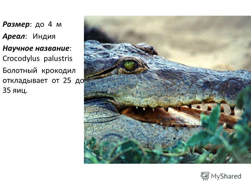 Размер: до 4 м Ареал: Индия Научное название: Crocodylus palustris Болотный крокодил откладывает от 25 до 35 яиц.