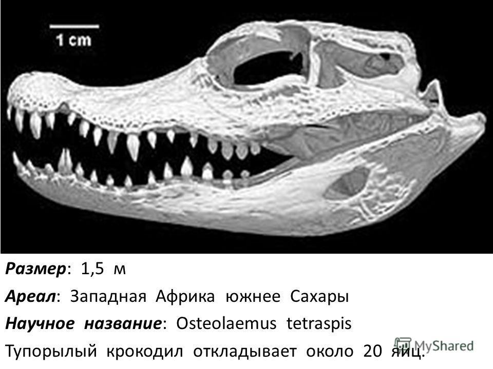 Размер: 1,5 м Ареал: Западная Африка южнее Сахары Научное название: Osteolaemus tetraspis Тупорылый крокодил откладывает около 20 яиц.