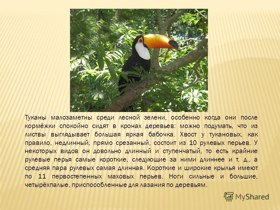 Туканы малозаметны среди лесной зелени, особенно когда они после кормёжки спокойно сидят в кронах деревьев: можно подумать, что из листвы выглядывает большая яркая бабочка. Хвост у тукановых, как правило, недлинный, прямо срезанный, состоит из 10 рул