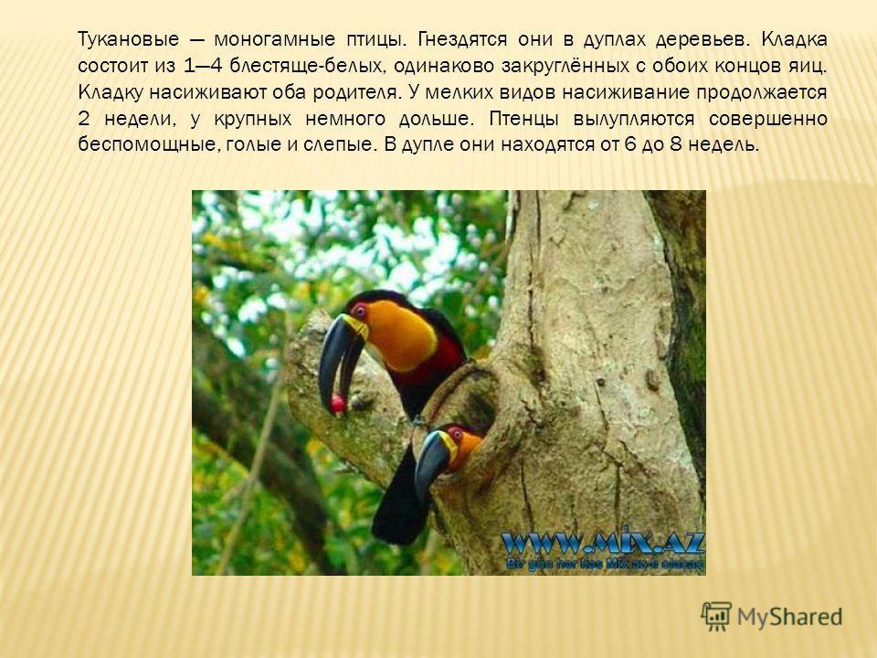 Тукановые моногамные птицы. Гнездятся они в дуплах деревьев. Кладка состоит из 14 блестяще-белых, одинаково закруглённых с обоих концов яиц. Кладку насиживают оба родителя. У мелких видов насиживание продолжается 2 недели, у крупных немного дольше. П