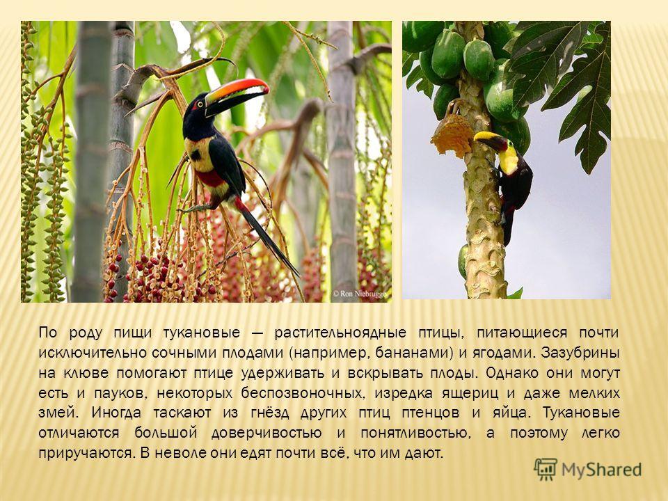 По роду пищи тукановые растительноядные птицы, питающиеся почти исключительно сочными плодами (например, бананами) и ягодами. Зазубрины на клюве помогают птице удерживать и вскрывать плоды. Однако они могут есть и пауков, некоторых беспозвоночных, из