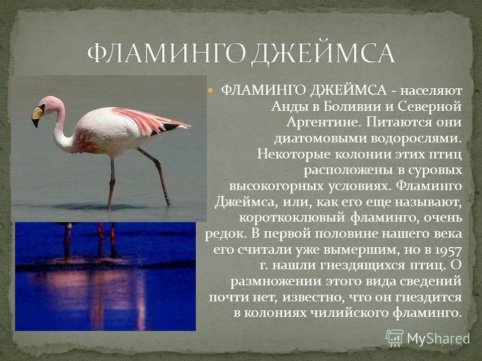 ФЛАМИНГО ДЖЕЙМСА - населяют Анды в Боливии и Северной Аргентине. Питаются они диатомовыми водорослями. Некоторые колонии этих птиц расположены в суровых высокогорных условиях. Фламинго Джеймса, или, как его еще называют, короткоклювый фламинго, очень