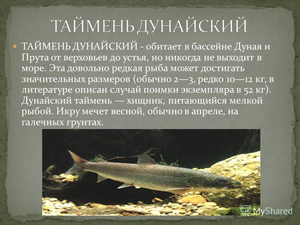 ТАЙМЕНЬ ДУНАЙСКИЙ - обитает в бассейне Дуная и Прута от верховьев до устья, но никогда не выходит в море. Эта довольно редкая рыба может достигать значительных размеров (обычно 23, редко 1012 кг, в литературе описан случай поимки экземпляра в 52 кг).