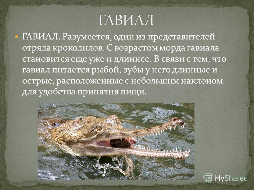ГАВИАЛ. Разумеется, один из представителей отряда крокодилов. С возрастом морда гавиала становится еще уже и длиннее. В связи с тем, что гавиал питается рыбой, зубы у него длинные и острые, расположенные с небольшим наклоном для удобства принятия пищ