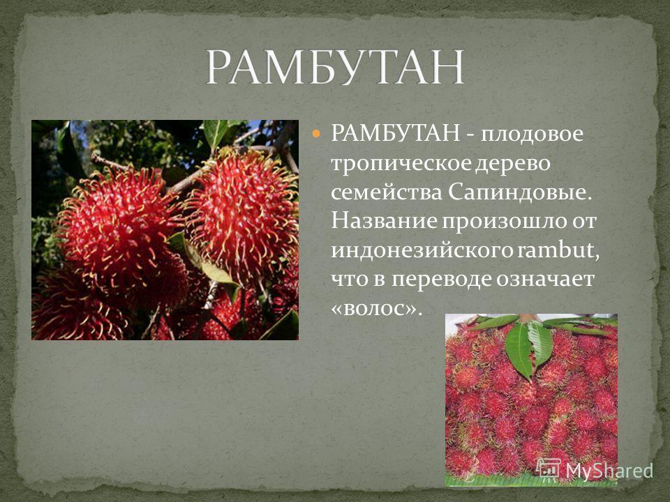 РАМБУТАН - плодовое тропическое дерево семейства Сапиндовые. Название произошло от индонезийского rambut, что в переводе означает «волос».