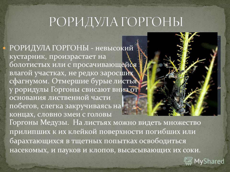 РОРИДУЛА ГОРГОНЫ - невысокий кустарник, произрастает на болотистых или с просачивающейся влагой участках, не редко заросших сфагнумом. Отмершие бурые листья у роридулы Горгоны свисают вниз от основания лиственной части побегов, слегка закручиваясь на