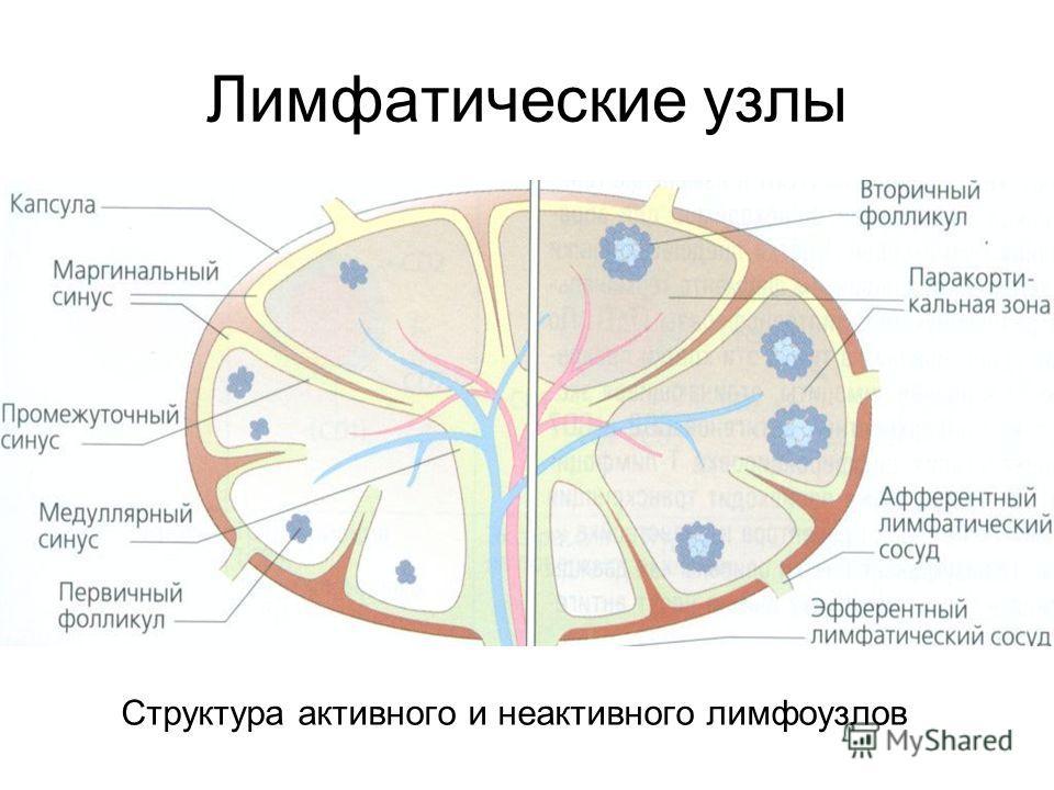 Лимфатические узлы Структура активного и неактивного лимфоузлов