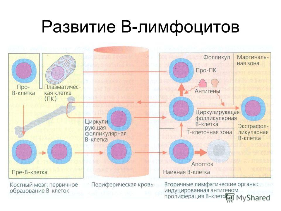 Развитие В-лимфоцитов