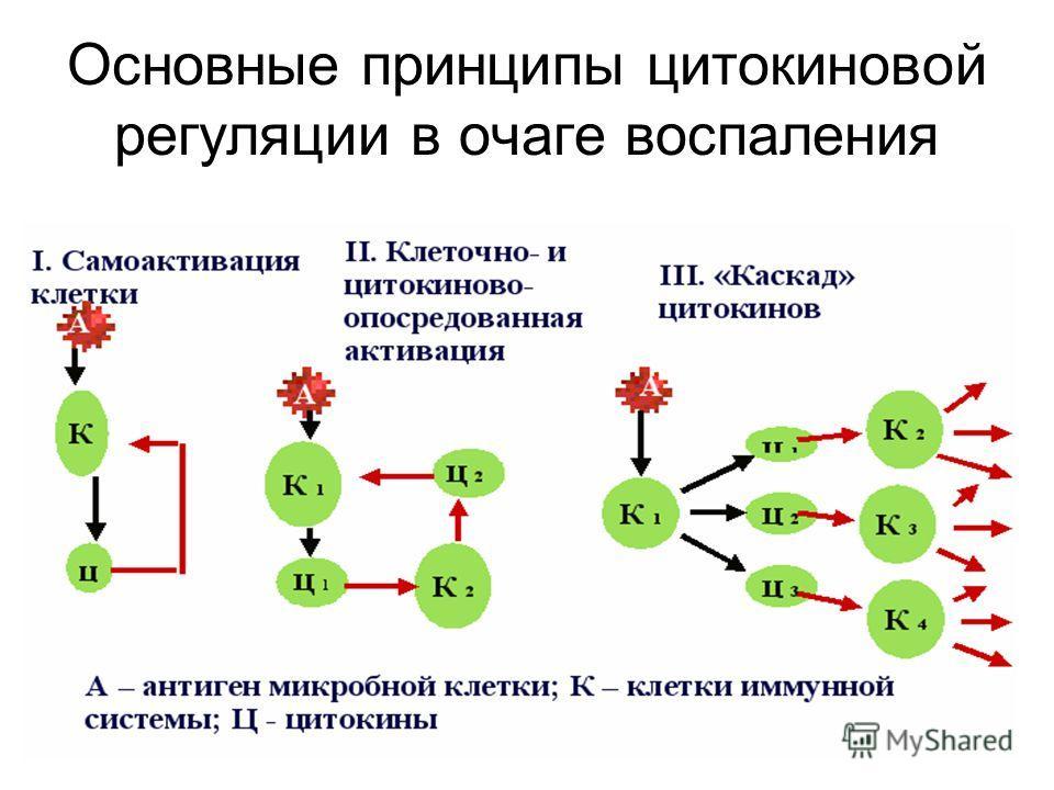 Основные принципы цитокиновой регуляции в очаге воспаления