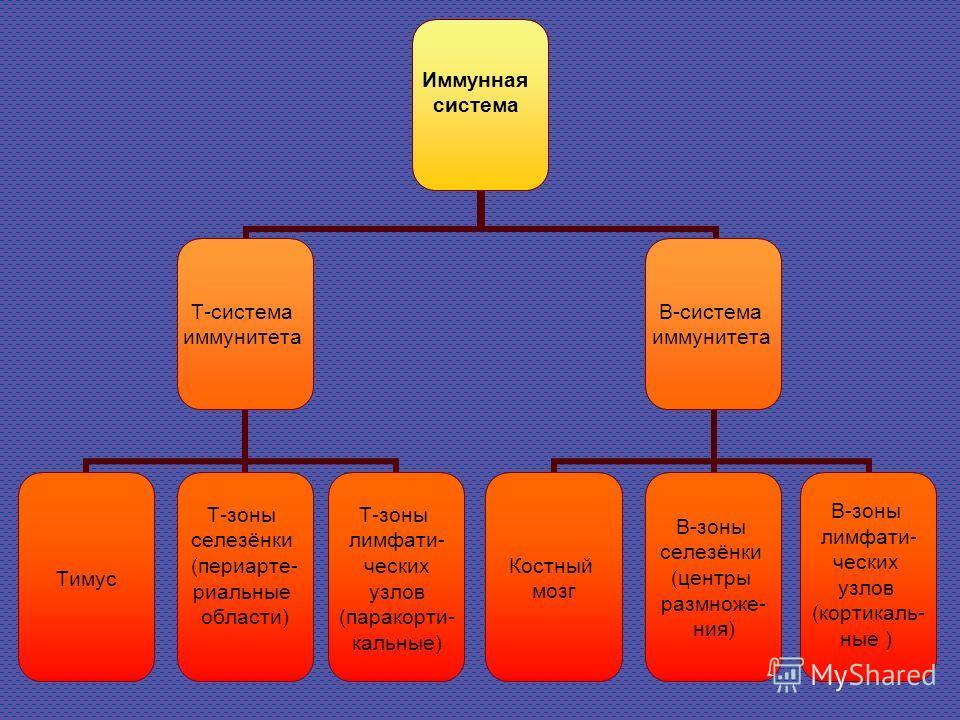 Иммунная система Т-система иммунитета Тимус Т-зоны селезёнки (периарте- риальные области) Т-зоны лимфати- ческих узлов (паракорти- кальные) В-система иммунитета Костный мозг В-зоны селезёнки (центры размноже- ния) В-зоны лимфати- ческих узлов (кортик