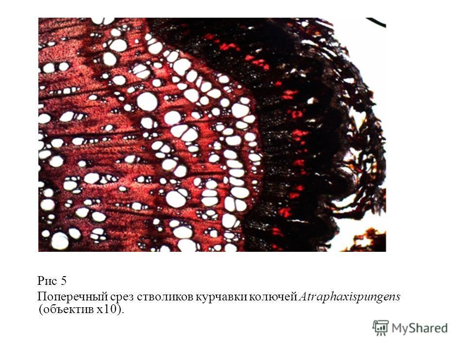 Рис 5 Поперечный срез стволиков курчавки колючей Atraphaxispungens (объектив х10).