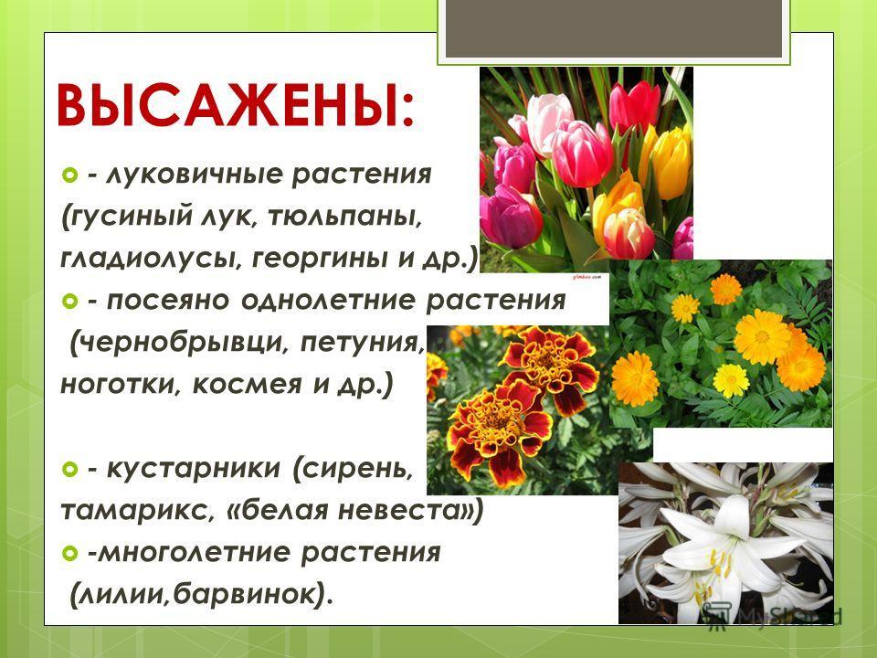 ВЫСАЖЕНЫ: - луковичные растения (гусиный лук, тюльпаны, гладиолусы, георгины и др.) - посеяно однолетние растения (чернобрывци, петуния, ноготки, космея и др.) - кустарники (сирень, тамарикс, «белая невеста») -многолетние растения (лилии,барвинок).