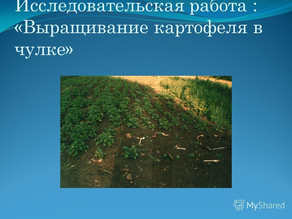 Исследовательская работа : «Выращивание картофеля в чулке»