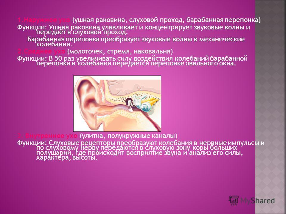 1.Наружное ухо (ушная раковина, слуховой проход, барабанная перепонка) Функции: Ушная раковина улавливает и концентрирует звуковые волны и передаёт в слуховой проход. Барабанная перепонка преобразует звуковые волны в механические колебания. 2.Среднее