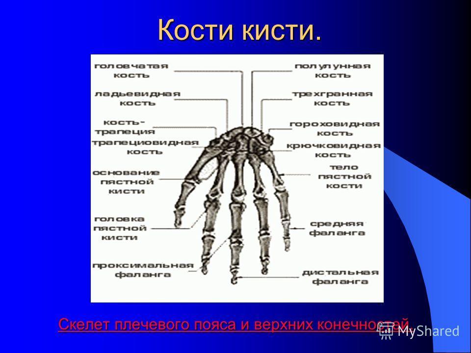 Плечевые кости. Скелет плечевого пояса и верхних конечностей. Скелет плечевого пояса и верхних конечностей.