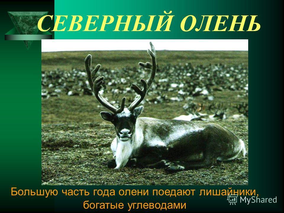 СЕВЕРНЫЙ ОЛЕНЬ Большую часть года олени поедают лишайники, богатые углеводами