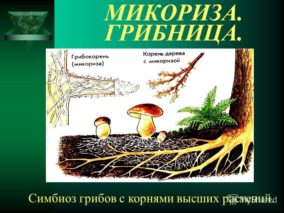 МИКОРИЗА. ГРИБНИЦА. Симбиоз грибов с корнями высших растений.