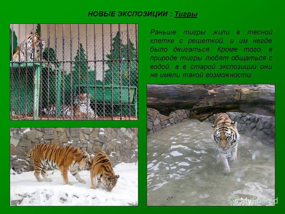 НОВЫЕ ЭКСПОЗИЦИИ : Тигры Раньше тигры жили в тесной клетке с решеткой, и им негде было двигаться. Кроме того, в природе тигры любят общаться с водой, а в старой экспозиции они не имели такой возможности.