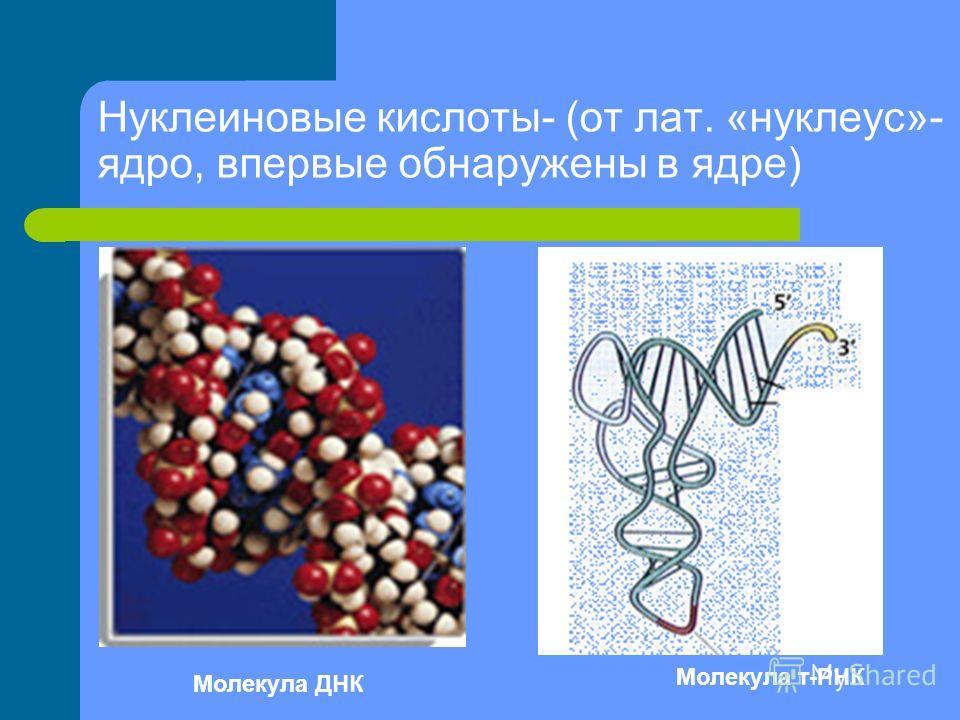 Нуклеиновые кислоты- (от лат. «нуклеус»- ядро, впервые обнаружены в ядре) Молекула ДНК Молекула т-РНК