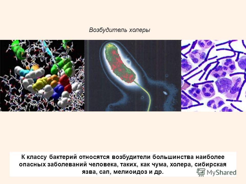 К классу бактерий относятся возбудители большинства наиболее опасных заболеваний человека, таких, как чума, холера, сибирская язва, сап, мелиоидоз и др. Возбудитель холеры